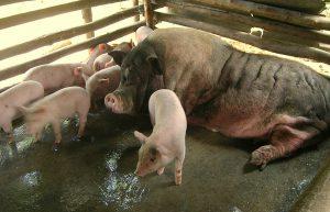 Schweineprojekt - Muttersau